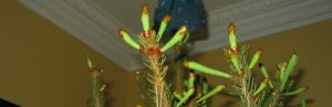 New growth on our Christmas tree.